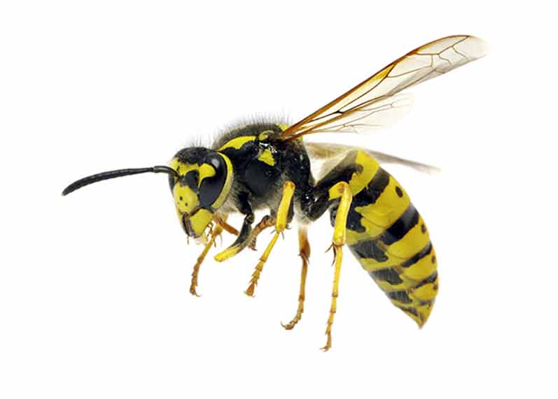 Wasp and Hornet Pest Control Norfolk